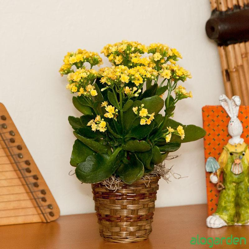 Chậu hoa sống đời vàng