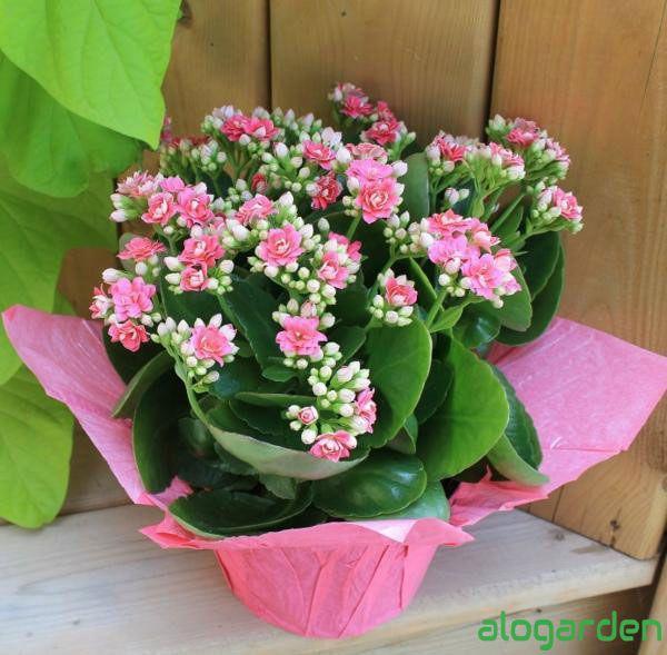 Hoa sống đời hồng