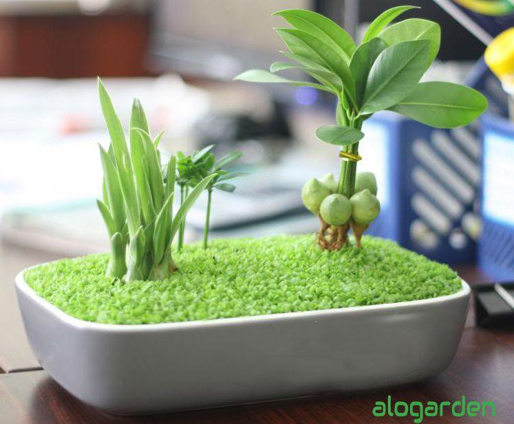 Kỹ thuật chăm sóc cỏ may mắn