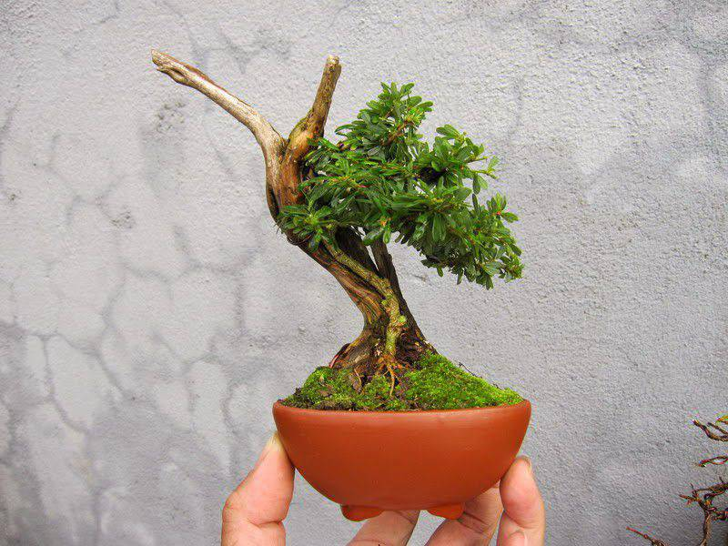 bonsai linh sam mini