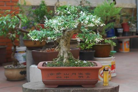 bonsai mai chiếu thủy mini