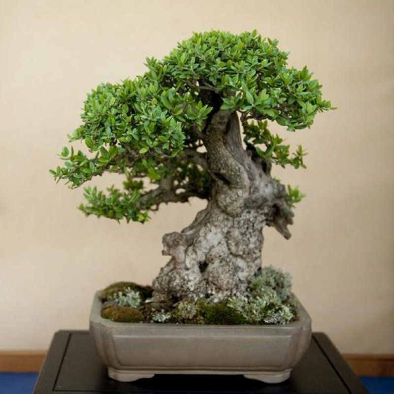 bonsai mini để bàn