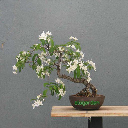bonsai mini nguyệt quế để bàn