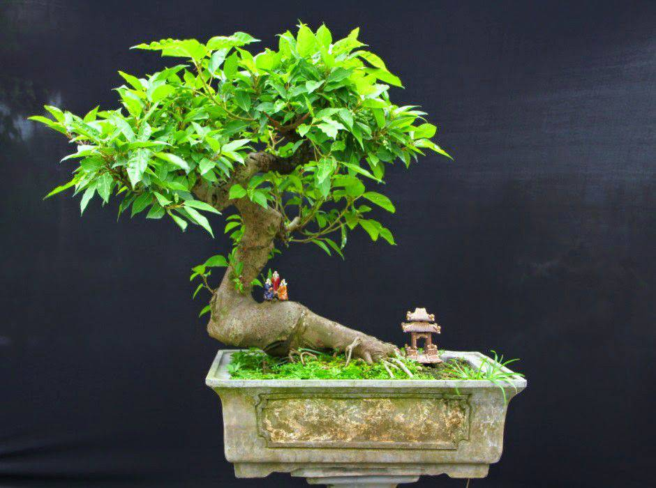 bonsai sung mini