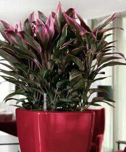 cách trồng và chăm sóc cây huyết dụ