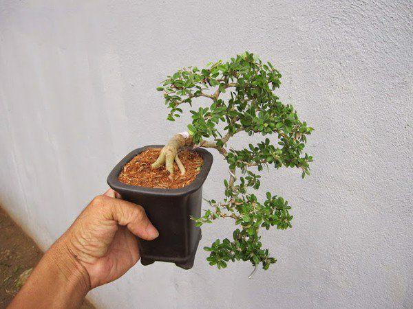 cây cần thăng bonsai mini phong thủy