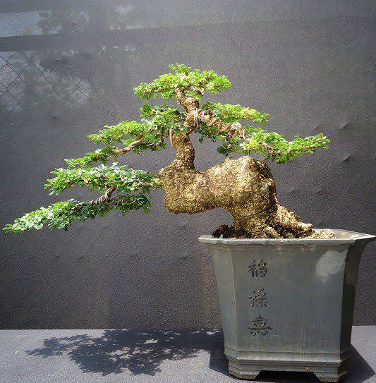 cây cần thăng phong thủy bonsai