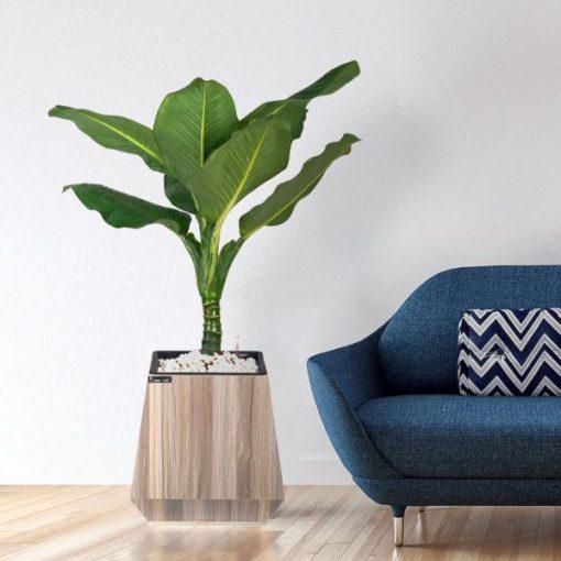 cây đại phú gia nội thất