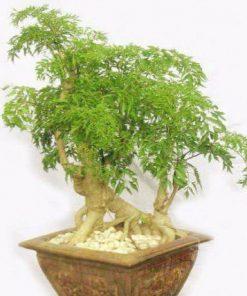 cây đinh lăng bonsai phong thủy