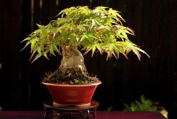 cây đinh lăng phong thủy
