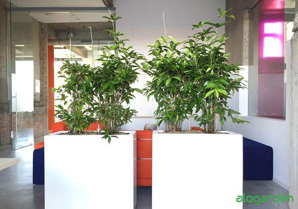 cây trúc nhật trang trí trong văn phòng