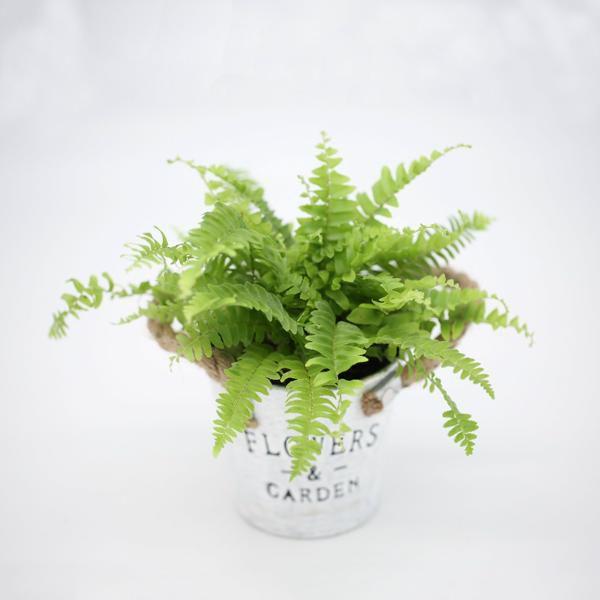 chậu dương xỉ mini để bàn