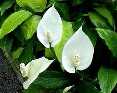 hoa cây lan ý