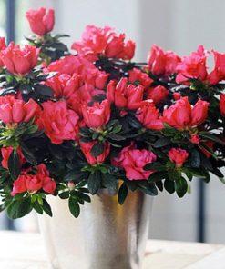 hoa đỗ quyên đẹp