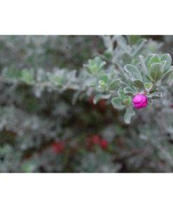 nụ hoa tuyết sơn phi hồng