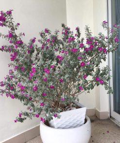 trang trí nhà với tuyết sơn phi hồng